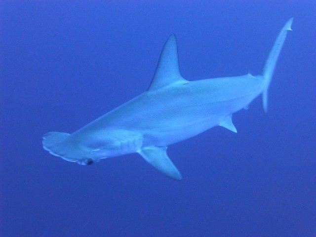 dospělý žralok